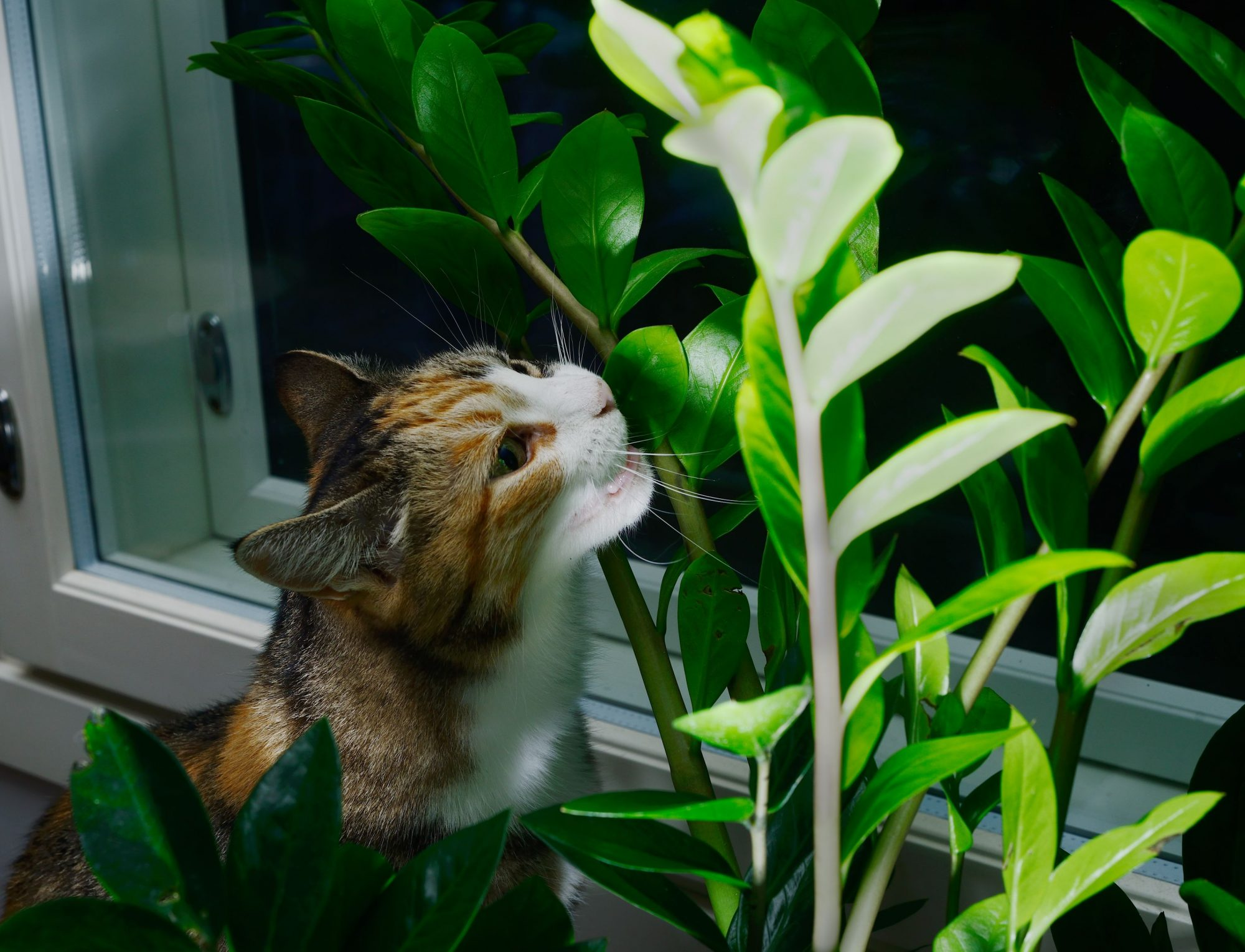 Berks County cat with toxic plant.